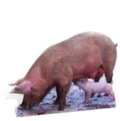 Pig & Piglets lifesize Cardboard Cutout