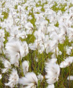 2nd Anniversary - Cotton