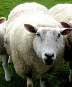 7th Anniversary - Wool