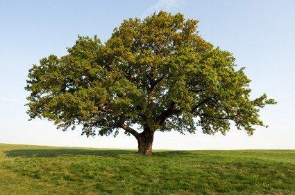 80th Anniversary - Oak